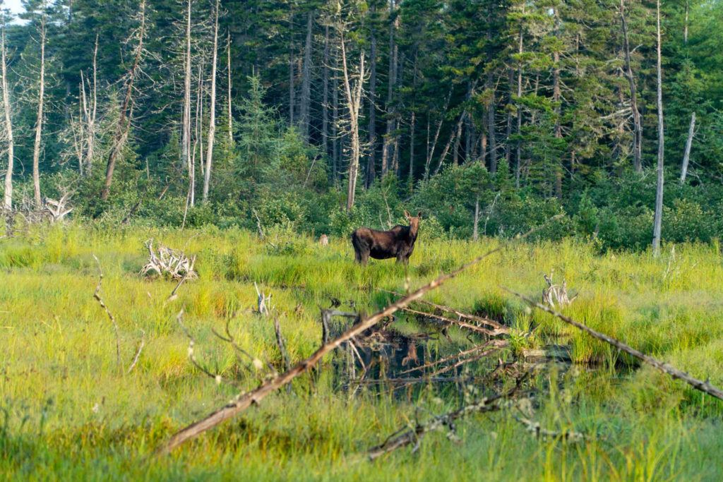 moose in Lazy Tom's Bog near Moosehead Lake Maine
