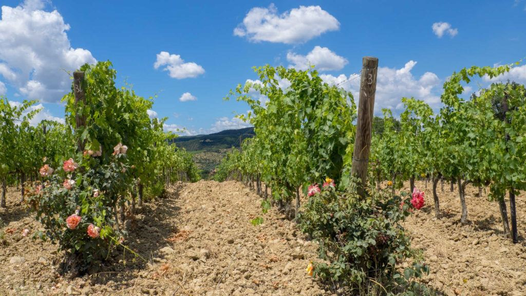 roses at the end of the row of grape vines in a vineyard