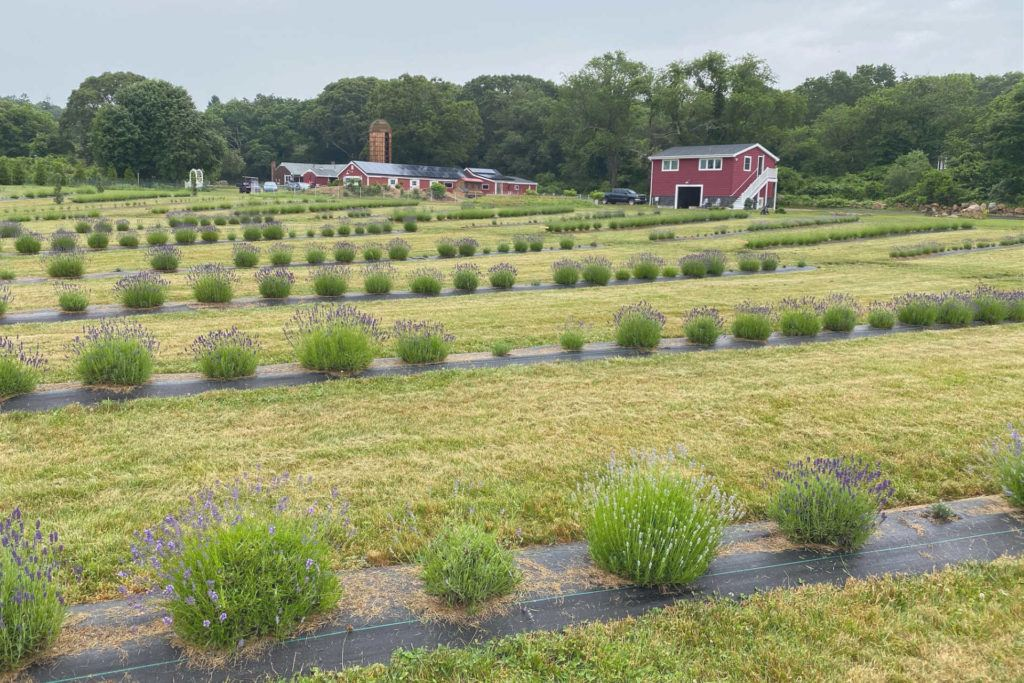 Lavender waves farm with fields and red barn