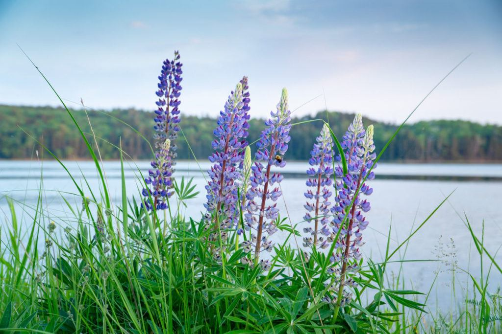 Lupines along the river in Machias