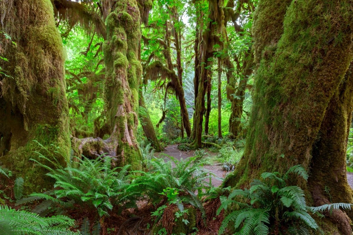 Hoh Rain Forest trees covered in moss, image courtesy of Canva
