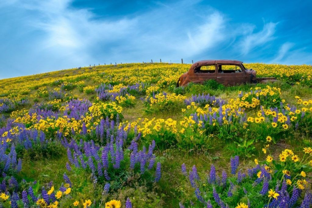 Rusted car in a flower field in The Dalles Oregon
