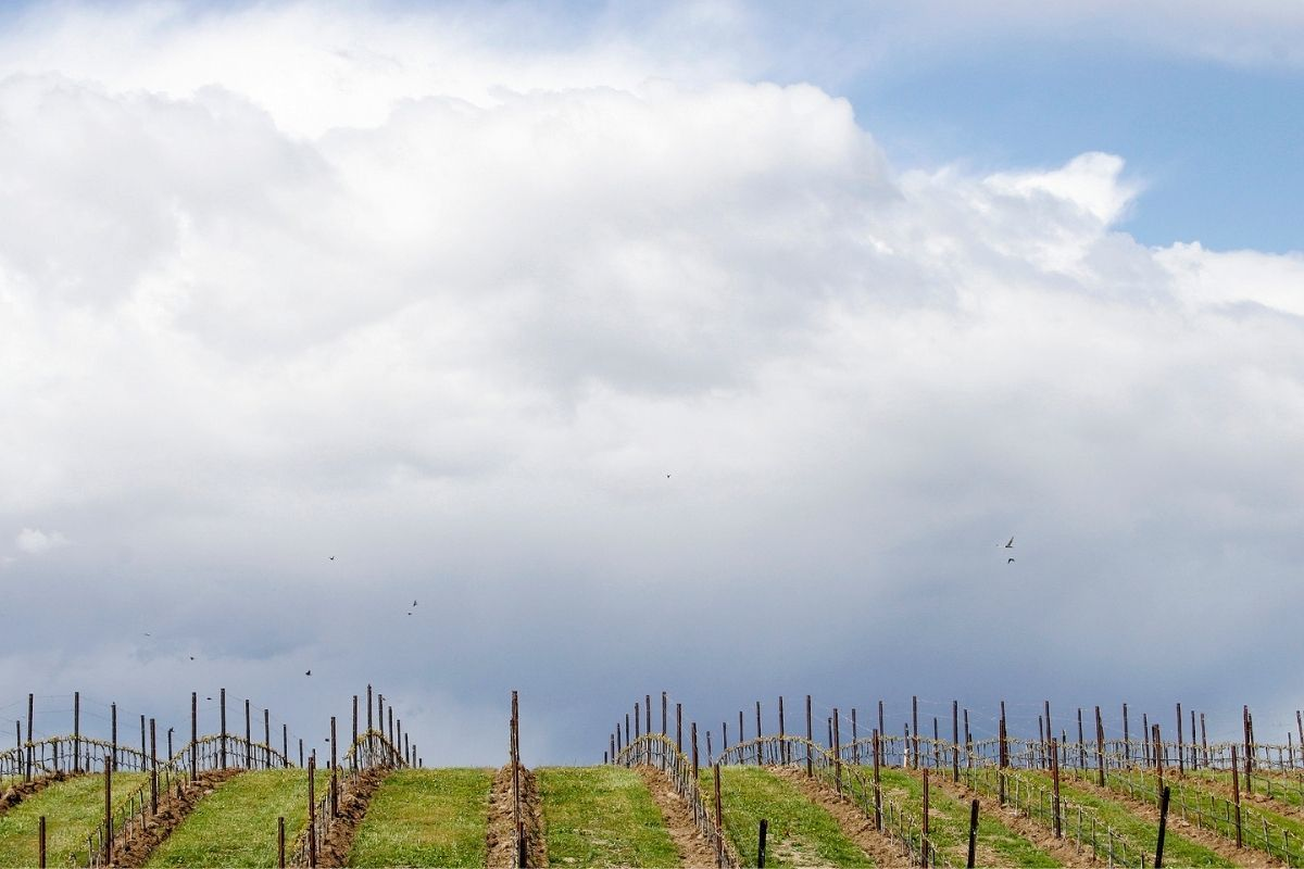 Vineyard on hill with blue sky in Walla Walla WA from Canva
