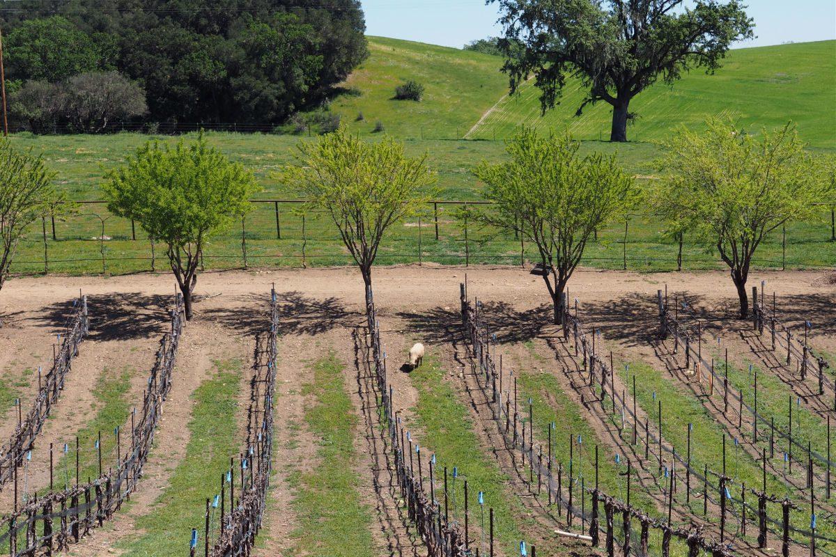 Vineyard and sheep at Oso Libre Vineyard in Paso Robles